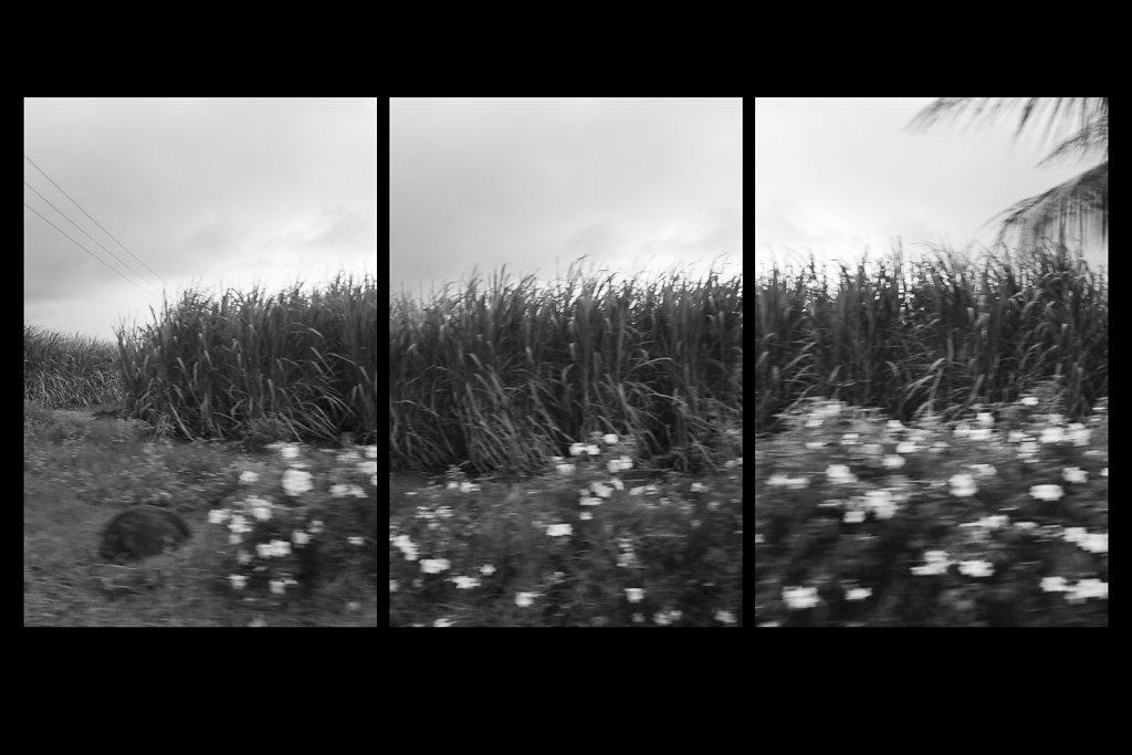 Sugarcane-Trio.jpg